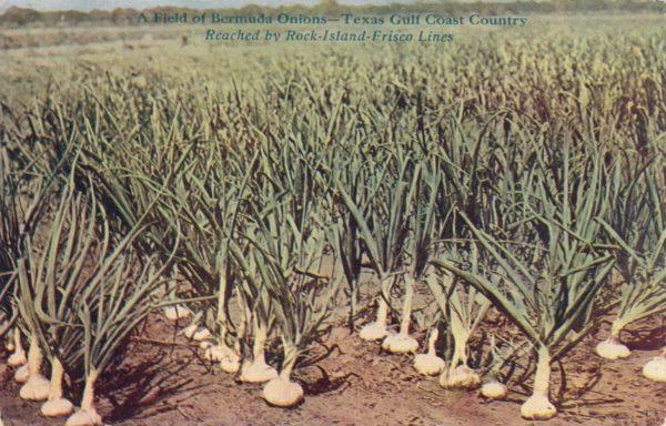 Bermuda Onions (circa 1910)